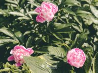 The Peony and the Ant: A Life Lesson for Us All